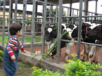 Jie feeding cows at a China dairy 18 months earlier.